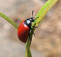 Red beetle2.jpg