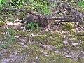 Red fox cub eating.jpg