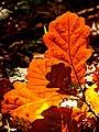 Red leaf - Flickr - Stiller Beobachter.jpg
