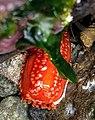Red sea cucumbe (41350642010) (cropped).jpg