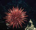 Red sea urchin.jpg