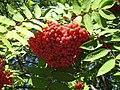 Redberries.JPG
