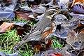 Redwing - January 2011 (5339823287).jpg