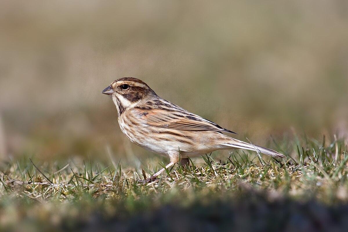 photo of sparrow bird