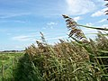 Reed bed, Afon Gele - geograph.org.uk - 239673.jpg