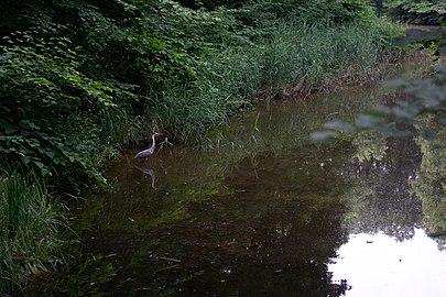 Reiher im Saarlouiser Stadtgarten.jpg