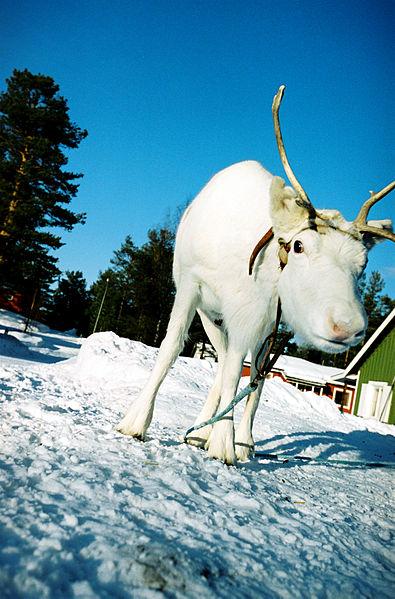 File:Rein, Jokkmokk, Karin Beate Nosterud (1).jpg