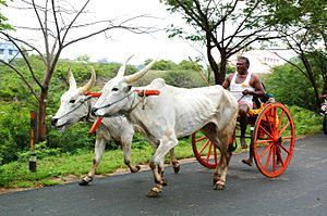 Ox-wagon - Bullock cart-racing in Tamil Nadu, India.