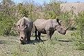 Rhinoceros in Kruger National Park 04.jpg