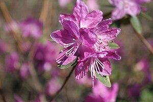 Rhododendron dauricum - Image: Rhododendron dauricum Dahurianalppiruusu IM7354 C