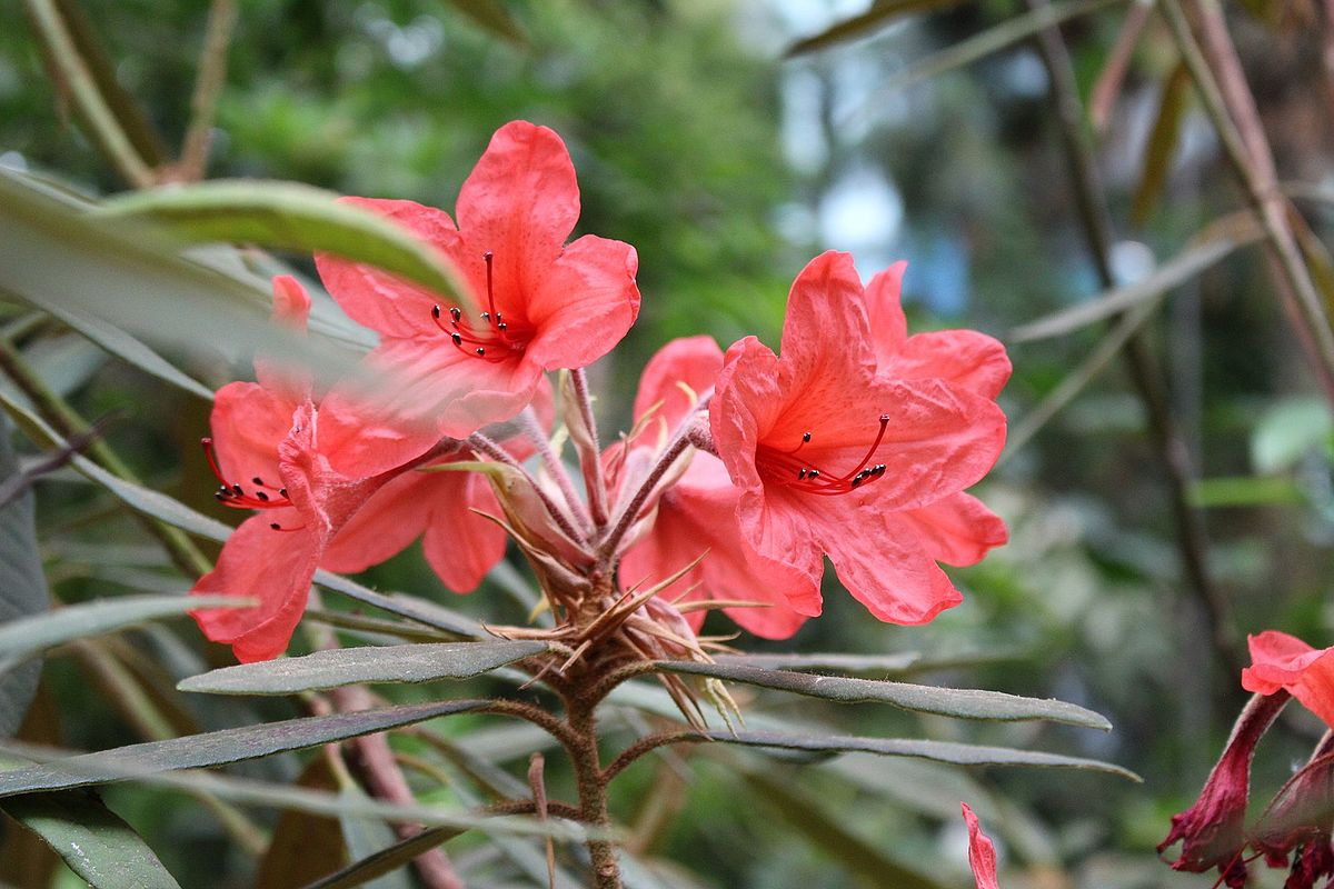 rhododendron griersonianum   wikipedia