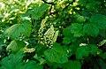 Ribeshudsonianum.jpg
