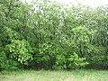 Robinia-pseudoacacia-12-V-2007-6227.jpg