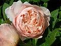 Rosa Emily.jpg