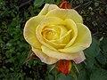 Rosa amarela (345991650).jpg