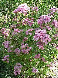 Rosa sp.305.jpg