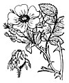 Rosa tomentosa illustration (01).jpg