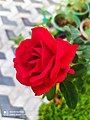 Rose Flower with a soul.jpg