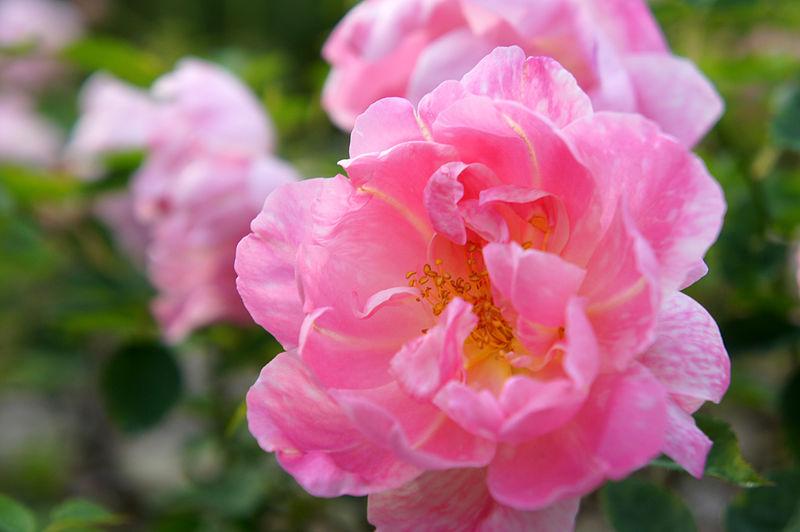 File:Rose Windflower バラ ウィンドフラワー (6363508101).jpg