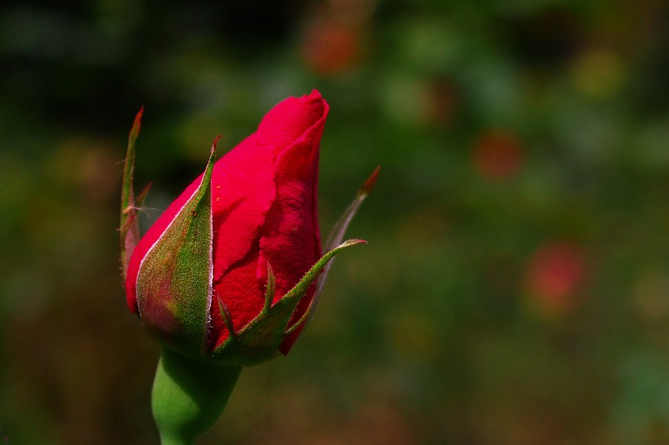 Rose bud (6027707280)