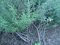 Rosmarinus officinalis (Italy) 01.jpg