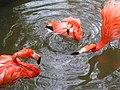 Roze kippen (139189661).jpg