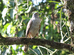 Rufous-thighed kite - Image: Rufous thighed Kite (Harpagus diodon)