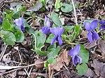 Ruhland, Grenzstr. 3, Duftveilchen im Garten, blau blühend, Frühling, 01.jpg