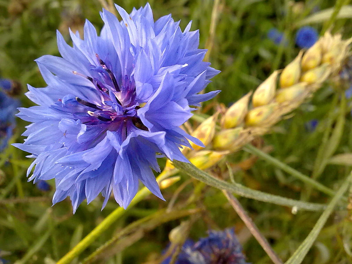 a description of chicory cichorium intybus a weed which produces blue flowers Assessment report on cichorium intybus l description of the herbal substance is an erect perennial herb 80±9 0cm in height usually with bright blue flowers.