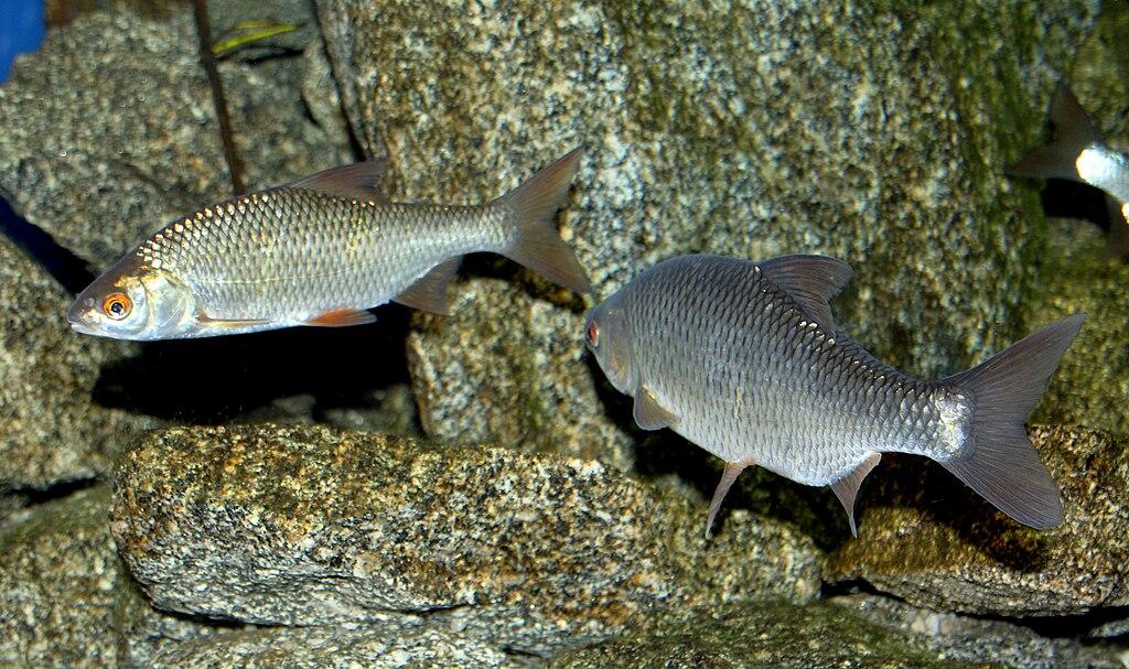 Plotica červenooká (lat. Rutilus rutilus)