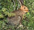SNOWSHOE HARE (Lepus americanus) (8-20-13) stunner c g, n-w conejos co, co (2) (9592453799).jpg