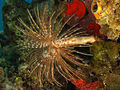 Sabellastarte magnifica (Magnificent feather duster worm).jpg