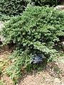 Sabina chinensis - Kunming Botanical Garden - DSC03038.JPG