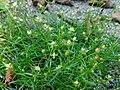 Sagina procumbens plant (27).jpg
