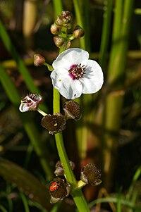S. sagittifolia, pilblad