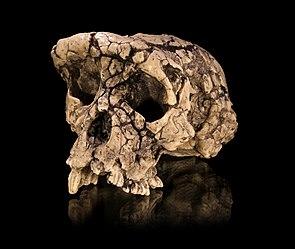 Schädel von Sahelanthropus tchadensis
