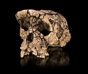 Sahelanthropus - Cast of a Sahelanthropus tchadensis skull (Toumaï)