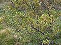 Salix pentandra1.jpg