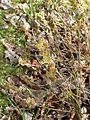 Salix repens subopposita - Flickr - peganum.jpg