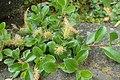 Salix simulatrix kz04.jpg