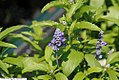 Salvia farinacea Victoria Blue 1zz.jpg