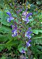 Salvia forsskaolei kz3.jpg