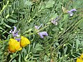 Salvia hypargeia - Flickr - peganum (1).jpg