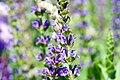 Salvia nemorosa East Friesland 5zz.jpg