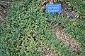Salvia sonomensis - Regional Parks Botanic Garden, Berkeley, CA - DSC04332.JPG