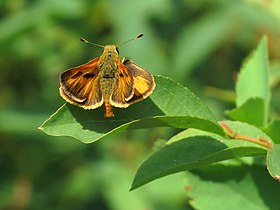 Sandhill Skipper at Lily Lake (14872090660).jpg