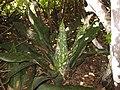 Sansevieria kirkii - Mecufi (5669394701).jpg