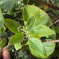 Santalum album leaves and flowers 01.JPG