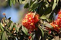 Saraca asoca (Roxb.) Willd..jpg
