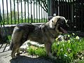 Sarplaninac dog aka Illyrian Dog or Dog of Sharr 2 (Photograph).jpg